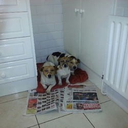 Lost dog on 19 Mar 2014 in trim. STOLEN TODAY from Laracor area outside Trim 2 jack russels on the left,contact gardai on  0469431222
