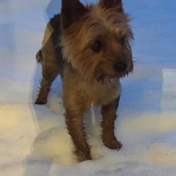 Lost dog on 19 Mar 2018 in Rathcoole, Dublin. Yorkshire Terrier.