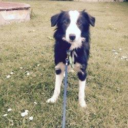 Lost dog on 19 May 2015 in Lusk/Man O War/Skerries. LOST...help Find Rossi - Lost on 30/4/15 off Commons Lane. Seen between Lusk/Man O War/Skerries. Reward. Phone 086 169 6624