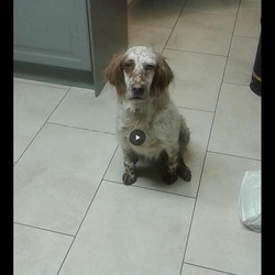 Reunited dog 19 May 2017 in Kilkenny. LOST LEMON AND WHITE ENGLISH SETTER female lemon and white English setter lost since Friday morning from the thornback/ Freshford road area, kilkenny. Microchipped. Please contact 0851485405 /(056)7767977