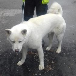 Lost dog on 19 May 2017 in Saggart , Saggart Village. found, now in the dublin dog pound... Date Found: Monday, May 15, 2017 Location Found: Saggart , Saggart Village