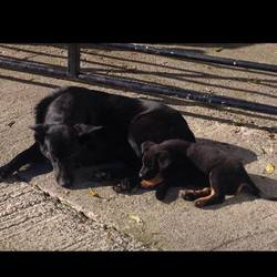 Lost dog on 19 Nov 2014 in kiltale. LOST / STOLEN both dogs kiltale please contact last hope charity if you have found these dogs or took them in to look after them..
