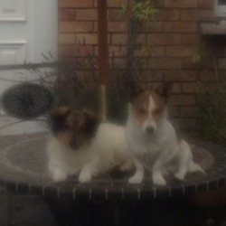 Lost dog on 19 Oct 2012 in clondalkin. 2 male jack russells 18 months old, brothers, missing since 16-10-2012 in bawnogue,clondalkin area. Very anxious to find them