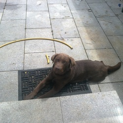 Lost dog on 19 Oct 2012 in Newcastle, Co. Dublin. Chocolate Labrador, Louis