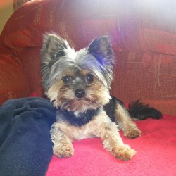 Lost dog on 19 Oct 2015 in Athenry, Galway. Adorable Miniature Yorkshire Terrier lost in Rockfield, Athenry at 9.10am on Mon 19.10.15. He is chipped & spayed. Any information welcome.