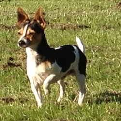 Lost dog on 19 Sep 2012 in galway city, please help. lost small black and white jack russel mixed with chihuahah