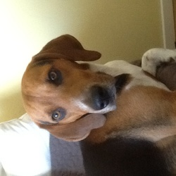 Lost dog on 20 Aug 2014 in Dublin7. Beagle, Male, 2 years old.