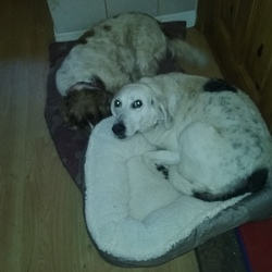 Lost dog on 20 Aug 2016 in Tierworker,near Bailieboro, Cavan. Old foxhound ran away this morning with her pal a staff/cross in the thunderstorm.Female,neutered,white, chipped.Searching for both dogs!