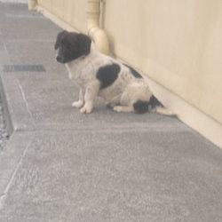Lost dog on 20 Feb 2012 in Donoughmore (North Cork). Bob is missing (possibly stolen) from his home in Donoughmore (Bweeng side), North Cork since Monday 20th February 2012. He is black and white with a dark brown head, black spots on body, medium sized, long tail. He is a nervous dog and is not wearing a collar or tag and is not microchipped. Please call 087 2961661