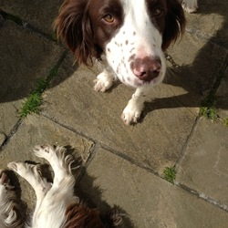 Lost dog on 20 Jan 2014 in Brittas Bay, Co Wicklow. English Springer Spaniel 2.5 years old gone missing from Brittas Bay, Co Wicklow. Lovely friendly dog that is being missed.