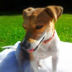 Lost dog on 20 Jul 2014 in Dublin 18. Small brown and white Jackrussel. 4 years old. Went missing on 20th July from Rathmichael/Shankill area. Was wearing a faded pink collar with a tag on it. Not microchipped. She is a very friendly dog and loves children. Could have followed children or a family from the lane beside where we live. Her family miss her very much.