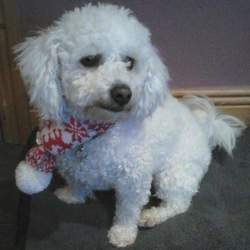 Lost dog on 20 Jul 2015 in Tullyesker area of Drogheda. SAM IS MISSING from the Tullyesker area of Drogheda since yesterday 18 July. He is a Bichon Frise male, wearing a black collar with red tag that has the owner's number on it. He is also microchipped. Sam is not familiar with the area because his owner was just visiting. Can everyone please be on the lookout for Sam and let us know of any sightings. 041 983 2418, pm or comment below. Please share. Liz