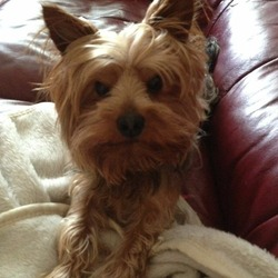 Lost dog on 20 Jun 2014 in Lucan . Alfie 3 yr old Yorkie, missing since Thursday morning from Lucan, is grey & tan with long black tail. Very friendly nervous with strangers. Family heartbroken  0851364236