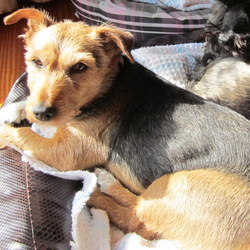 Lost dog on 20 Jun 2014 in Salthill, Galway. Brown and tan terrier wearing a pink collar strayed from home in Salthill, Galway Friday 20th June