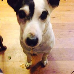 Lost dog on 20 Jun 2016 in Rathfarnhan. Male Black and White Jack Russell Terrier, not neutered, no collar, missing since 20th June 2016 in the Rathfarnham area. Please contact Rathfarnham/Terenure Garda stations with any information