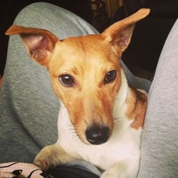 Lost dog on 20 Jun 2016 in Wexford. White and Tan Jack Russell Missing Crossabeg Co Wexford Micky mouse head marking on her side