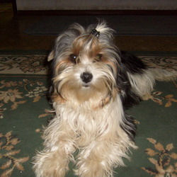 Lost dog on 20 Oct 2012 in walkinstown. 2 years old female silver and white yorkie was lost in walkinstown.