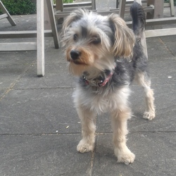 Lost dog on 20 Sep 2014 in Clara, Co Offaly. Female 8/9 month old yorkshire terrier mix. Blue head, black body and blonde paws.