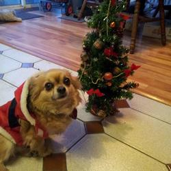 Lost dog on 20 Sep 2014 in woodview heights lucan. I lost my chihuahua long hair at 7 pm on 20 /09/2014 woodview heights.Lucan. Co.Dublin someone pick him up at the traffice light at the spar shop