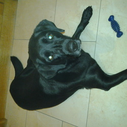 Lost dog on 20 Sep 2015 in Kilmacrennan Co. Donegal . 9 yr old black labrador missing/stolen from Kilmacrennan Co. Donegal
