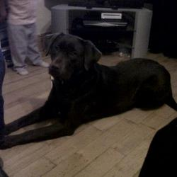 Lost dog on 21 Dec 2012 in Drimnagh, Dublin 12. Chocolate brown adult female labrador lost in Drimnagh on 21st December 2012. family pet, kids heartbroken, please phone 087 2214308 if you find her.