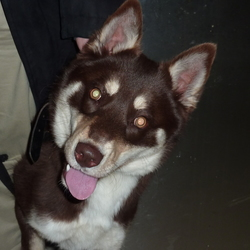 Lost dog on 21 Dec 2015 in Dublin. Brown and white young male husky found on train (Maynooth - Pearse)on 21 December at 3.30.