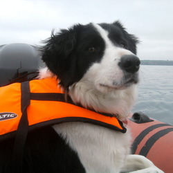 Lost dog on 21 Feb 2014 in Clane, Co.Kildare. Black and white, border collie cross,red collar,she is microchipped and spayed.went missing in Clane co. kildare area.