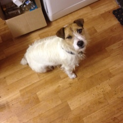 Lost dog on 21 Feb 2016 in Enfield,Meath. 6 year old white long haired long terrier, brown head and ears, neutered male