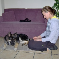 Lost dog on 21 Jan 2012 in salthill galway. german shepard name ted lost on salthill galway