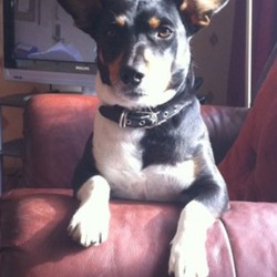 Lost dog on 21 Jan 2014 in Dublin. Male jack Russell terrier gone missing from coolock in Dublin