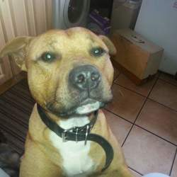 Lost dog on 21 Jul 2015 in rathpeacon/old mallow road. Lost from the rathpeacon/monard/old mallow road area.  Staffordshire terrier,sandy brown in color,male,answers to the name riley,friendly dog.May possibly been stolen. He's my aunts dog and he's like her child.She's heartbroken and worried about him any info at all would be really appreciated.missing since 21/07/15