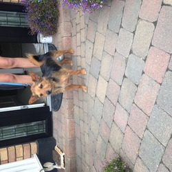 Lost dog on 21 Jun 0014 in Raheny. Black and brown terrier cross