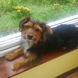 Lost dog on 21 Mar 2013 in North County Dublin . Scruffy is male; black with a brown face & front legs and a white chest.  Small jack russell x yorkshire terrier missed terribly!