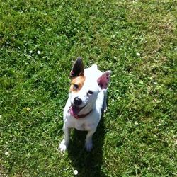 Lost dog on 21 May 2014 in Galway. Coco is missing from Annaghdown Co Galway since yesterday. 0833927717