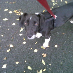 Lost dog on 21 Nov 2012 in Ballydribbeen, Killarney, Co kerry. Collie/Labador, 1 year old, black and white, short haired.