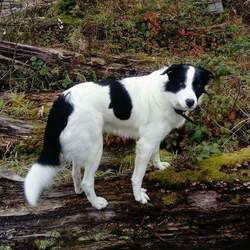 Reunited dog 21 Nov 2017 in Longford. Clooney is missing since 21st November. He is a friendly 3year old Collie Mix.