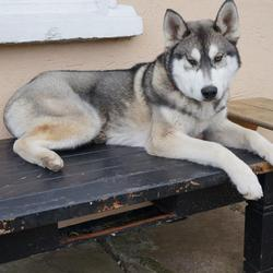 Lost dog on 21 Oct 2013 in Carrigtowhill. Male Husky, Black-White-Grey, 1 years Old,have webbed toes of his front paw, Lost him on 21st Oct near Carrigtwohill middle town. Any one have any info please contact 0860777999. miss him so much.