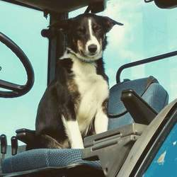Lost dog on 21 Oct 2016 in Carlow. Male sheepdog, black & white with few bits of brown. 1.5 years old, was wearing a red collar and is microchipped. Stolen Friday evening from outside a house in Fenagh/Garryhill area of Carlow
