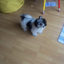 Lost dog on 21 Sep 2012 in dublin15. hi my dog black/white shitzu pupy 6monds old,was missing ,Microchip is 956000008291082,