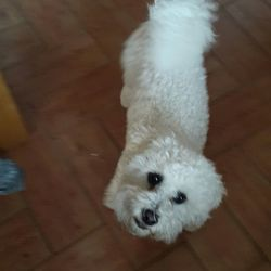 Lost dog on 22 Apr 2017 in Ballymena. Lily is a white bishon frece she is microchipped and nurtured, she was stolen yest from my mum's back garden in dunclug gardens in Ballymena n.ireland at 12pm but we have supision she could be over the border if anyone can please help me there is a substantial amount of money for her return..please help we are very worried about her she's badly missed out hearts are broke