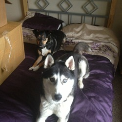 Lost dog on 22 Dec 2012 in Glanworth, Co Cork. Both dogs lost together in Glanworth Village at 6pm 22/12/12, Missy is a collie/terrier cross with white sock paws, Buddy is a silver/black/grey Huskey, both wearing black collars but no tags or chipped, please contact Tracie on 0871248331