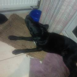 Lost dog on 22 Feb 2013 in Glasnevin /Finglas. Black 8 month old cross breed with white patch on chest wearing a brown leather electronic collar .last seen in Johnstown park Glasnevin on 22/02/13