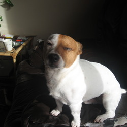 Lost dog on 22 Feb 2013 in Limerick, Castletroy, Monaleen. Male Jack Russell MISSING.