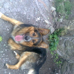 Lost dog on 22 Feb 2014 in Carrigaline. We lost our lovely german shepard dog in Ballincollig last Friday night. He escaped from his owner who carried with him the dog on Friday after 1,5 years while the dog was living with us in Carrigrohane Cork. No chip no dog'scollar. Call me please if you...