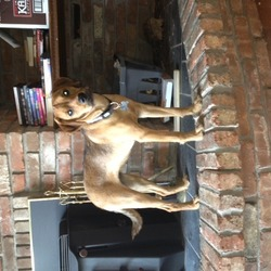 Lost dog on 22 Jun 0013 in Crinstown, Maynooth, co. Kildare. Mabel brown terrier cross, medium size, female spayed