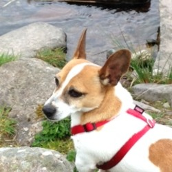 Lost dog on 22 Mar 2016 in kilkenny castlecomer road area. Very small white/brown male Jack Russell terrier, 6 years old, big ears and full tale. Missing, house dog and wonderful pet.