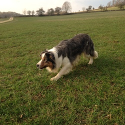 Lost dog on 22 Mar 2017 in Woodlawn, Ballinasloe. Blue Merle male Border Collie lost in Woodlawn Woods East Galway. Shy with people, friendly with dogs. Trained sheepdog