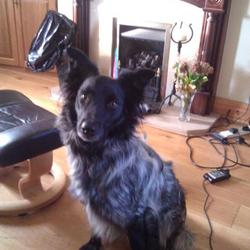 Found dog on 22 May 2012 in Glasheen, Cork. Collie mix, Black face and ears, with grey coat and bushy tail.Very distinctive colouring. V friendly, answers to Sam. Went missing in Glasheen, Cork