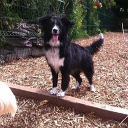 Lost dog on 22 Nov 2016 in Monard rathpeacon co cork. Molly is a miniature border collie. black and white in colour. female. is chipped and neutered.
