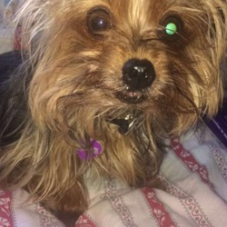 Lost dog on 22 Nov 2017 in Stillorgan,Fosterbrook. Mia is a miniature Yorkie.Missing since Wednesday the 22nd of November 2017.She is micro-shipped but will be very frightened please get in contact if found